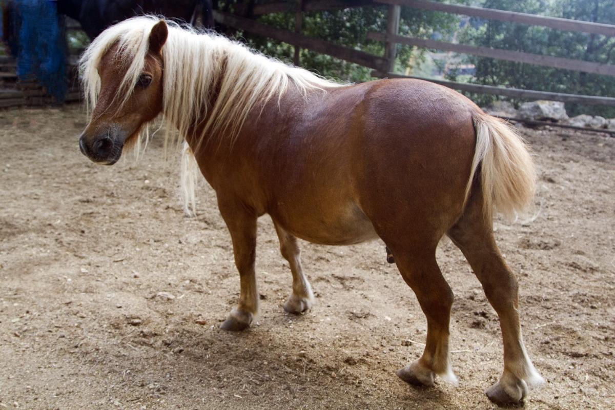 Dwarf horse Juanito