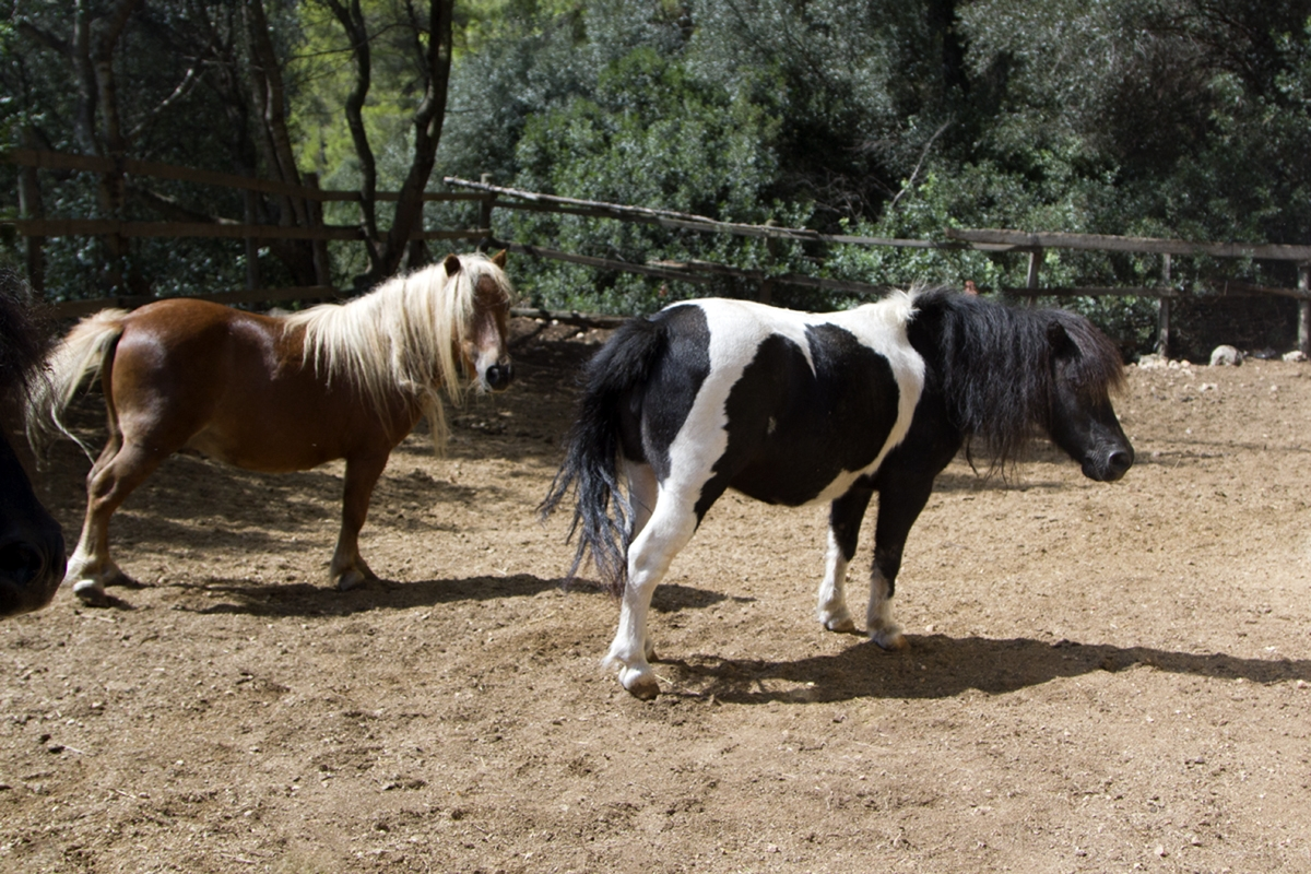 Dwarf horse Juanito and pony stallion Lucero