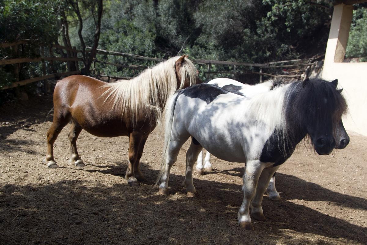 Zwergpferd Juanito_Ponyhengst Lucero und Pony Polly_5480