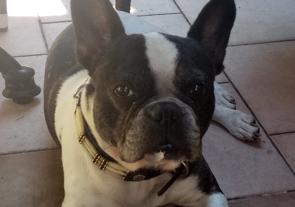 Amy, French bulldog